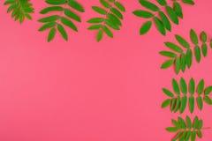 A árvore de Rowan verde sae no fundo cor-de-rosa brilhante imagens de stock royalty free