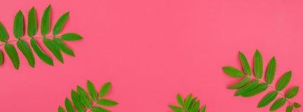 A árvore de Rowan verde sae no fundo cor-de-rosa brilhante foto de stock royalty free