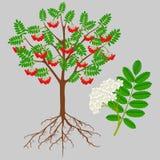 Árvore de Rowan vermelha com bagas e flor, elemento do projeto imagens de stock