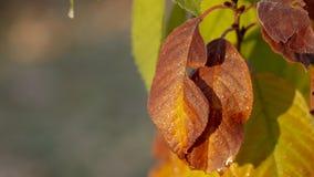 Árvore de Sakura da estação do outono e mudança da cor das folhas ao vermelho com amarelo imagem de stock royalty free