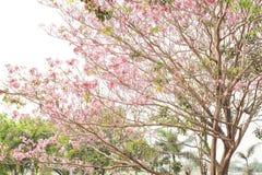 Árvore de Sakura, efeito do vintage Fotografia de Stock Royalty Free