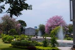 Árvore de Sakura em Tailândia fotos de stock