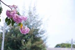 Árvore de Sakura em Tailândia imagens de stock