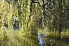 Árvore de salgueiro Imagem de Stock