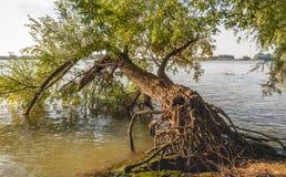 Árvore de salgueiro caída na borda de um rio Fotografia de Stock Royalty Free