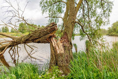 Árvore de salgueiro caída no banco de um rio Imagem de Stock Royalty Free