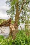 Árvore de salgueiro caída no banco de um rio Imagens de Stock Royalty Free