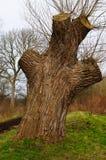 Árvore de salgueiro grande Foto de Stock Royalty Free