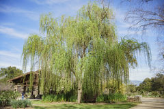Árvore de salgueiro grande bonita no jardim de Descanso Imagem de Stock Royalty Free