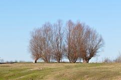 Árvore de salgueiro no inverno Foto de Stock