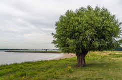 Árvore de salgueiro velha nos bancos de um rio Imagem de Stock Royalty Free