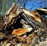 Árvore de salgueiro velha rotting Fotografia de Stock