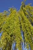 Árvore de salgueiro Weeping imagens de stock