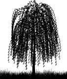 Árvore de salgueiro Weeping Fotos de Stock Royalty Free