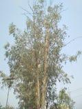 Árvore de Sapeda Fotografia de Stock Royalty Free