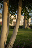 Árvore de seda de floss Foto de Stock Royalty Free