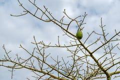 A árvore de seda de floss Fotos de Stock