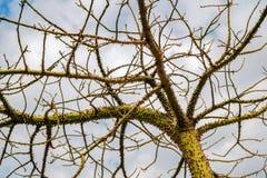 A árvore de seda de floss Fotografia de Stock Royalty Free