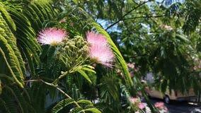 Árvore de seda persa imagem de stock