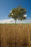 Árvore de serviço selvagem Fotos de Stock Royalty Free