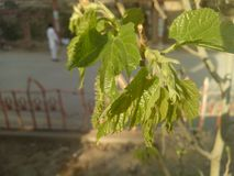 Árvore de Shatoot Imagens de Stock Royalty Free