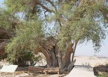 Árvore de Spina-Christi do Ziziphus foto de stock