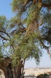 Árvore de Spina-Christi do Ziziphus foto de stock royalty free
