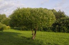 Árvore de sucesso Foto de Stock Royalty Free