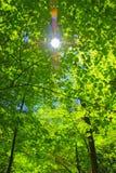 Árvore de Sun Imagem de Stock Royalty Free