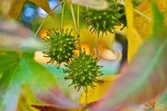 Árvore de Sweetgum fotografia de stock