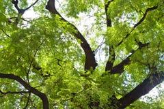 Árvore de Tamarind Fotos de Stock Royalty Free