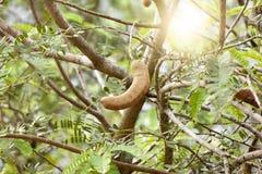 A árvore de tamarindo Fotos de Stock Royalty Free