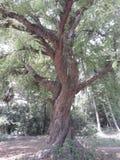 Árvore de tamarindo Imagens de Stock