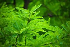 A árvore de tamarindo folheia textura fotos de stock