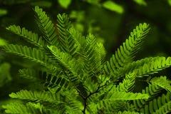 A árvore de tamarindo folheia textura imagens de stock