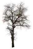 Árvore de tamarindo inoperante isolada fotografia de stock royalty free