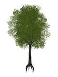 Árvore de tamarindo, tamarindus indica - 3D rendem Imagens de Stock