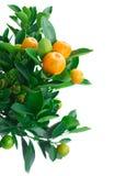 Árvore de tangerina Fotografia de Stock