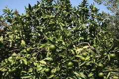 Árvore de tangerina Imagens de Stock Royalty Free