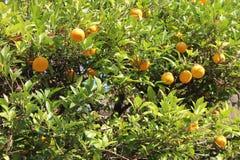 Árvore de tangerina com fruto maduro foto de stock royalty free