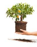 Árvore de tangerina decorativa nas mãos imagens de stock royalty free