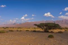 Árvore de Tortilis da acácia no deserto Imagens de Stock