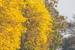 Árvore de trombeta amarela Imagem de Stock Royalty Free