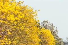 Árvore de trombeta amarela Imagem de Stock