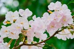 Árvore de trombeta cor-de-rosa Fotografia de Stock