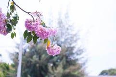 Árvore de trombeta cor-de-rosa Imagem de Stock Royalty Free