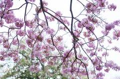 Árvore de trombeta cor-de-rosa imagens de stock royalty free