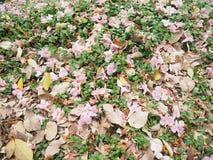 Árvore de trombeta cor-de-rosa Fotografia de Stock Royalty Free