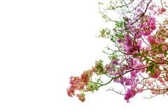 A árvore de trombeta ou o rosea de Tabebuia isolado no fundo branco, filtram o efeito com arco-íris fotografia de stock royalty free