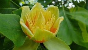 Árvore de Tulip foto de stock